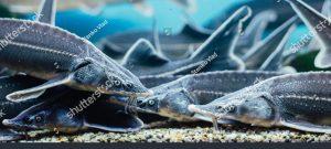 stock-photo-sturgeon-underwater