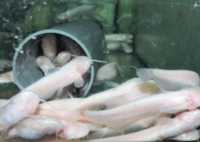 Albino Welse 7-10cm 10 St.EUR 55,50 frachtfrei