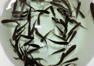 Graskarpfen 6-8cm 55 St.EUR99, frachtfrei-