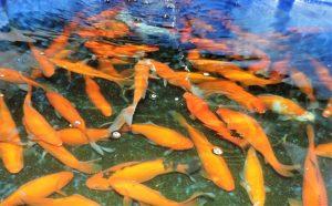 Laichgoldfische 15-20cm für den guten Nachwuchs 4 St. €49,90 inkl.