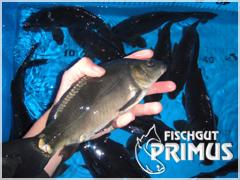 besatzfische