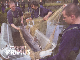 "Moving sturgeons becomes ""media event"""