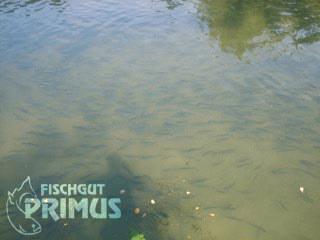 fischgut-primus.de-fischlando.de-stoerfarm-und-koifarm-iserlohn-fischzucht-15
